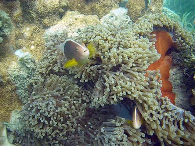 klovnfisk i en søanemone