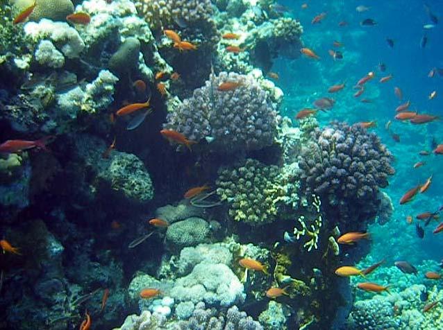 Koraller og fanebarser ved Ras Umm Sidd