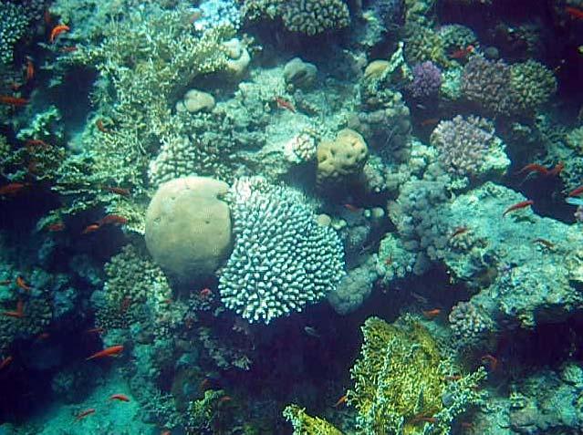 Koraller ved Ras Umm Sidd