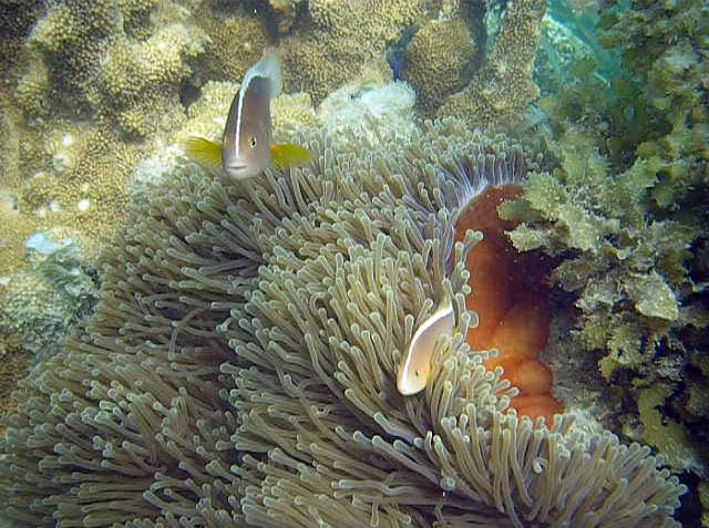 Klovnfisk i søanemone