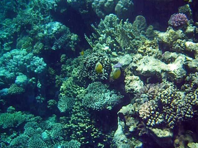 Koralrev ved Anemone City i Ras Mohamed