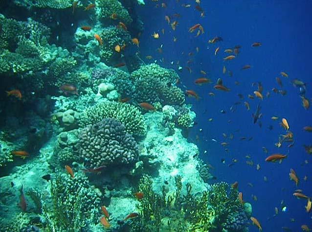 Fanebarser og koraller ved Anemone City i Ras Mohamed