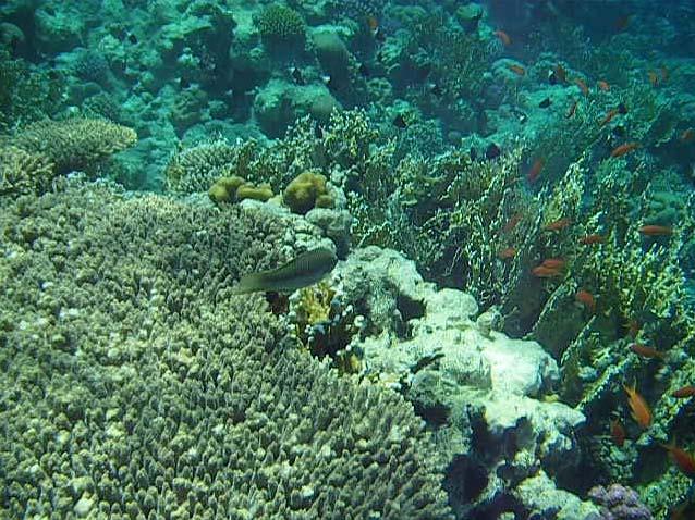 Koraller ved Anemone City i Ras Mohamed