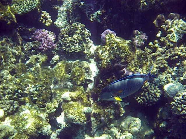 Koralrev og fisk i Sharm el Sheikh