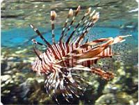 Dragefisk i Egypten