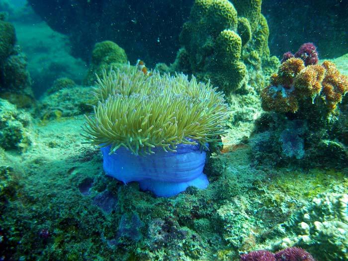 Søanemone og blødkoraller