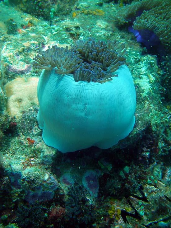 Flot søanemone ved Perhentian Islands