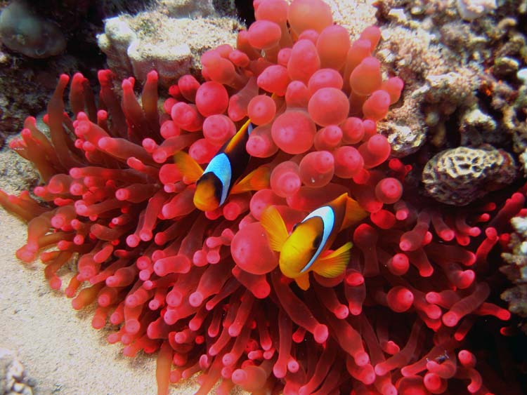 Klovnfisk og smuk rød søanemone i Dahab