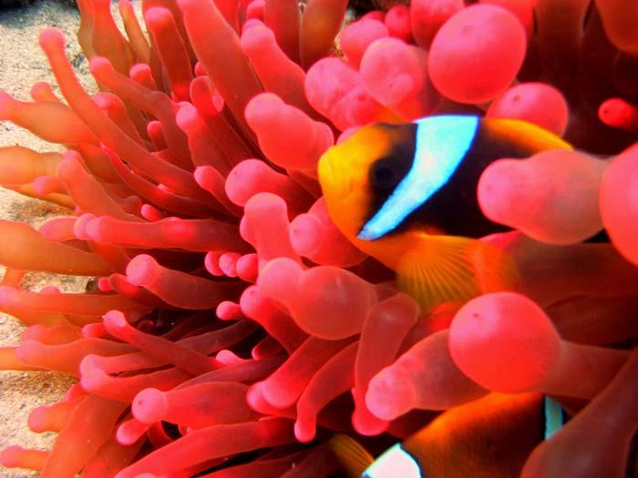 Klovnfisk gemmer sig i smuk rød søanemone
