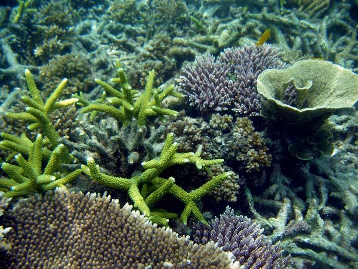 Flotte koraller ved Lang Tengah