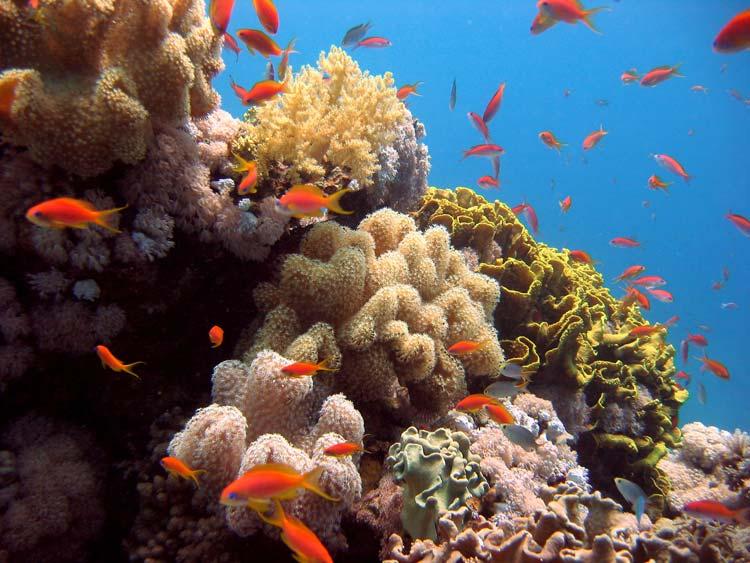 Perfekte koraller i Dahab