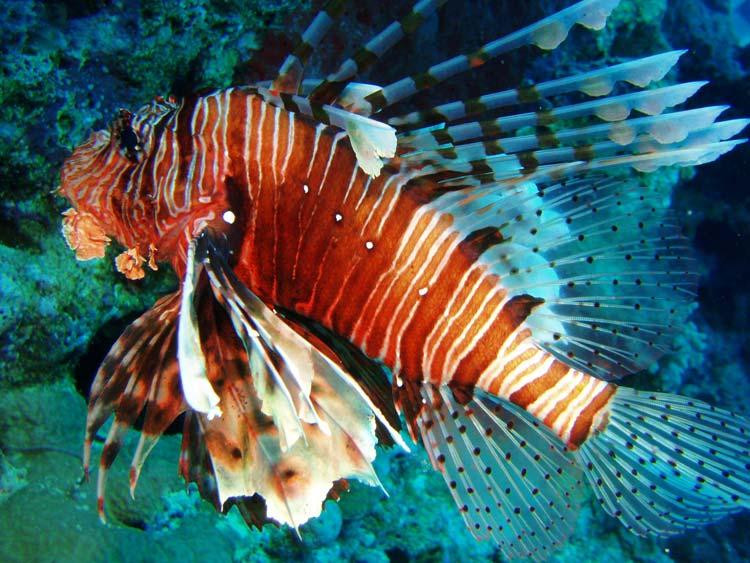 Dragefisk i Rødehavet