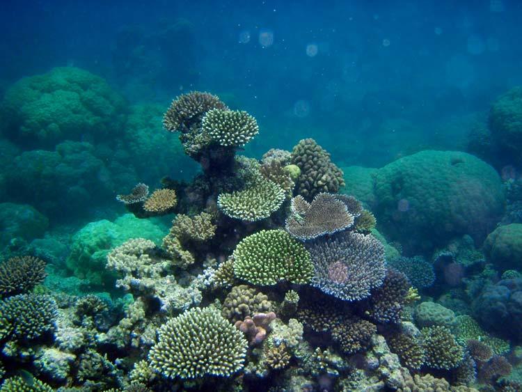 Smukke koraller ved Great Barrier Reef