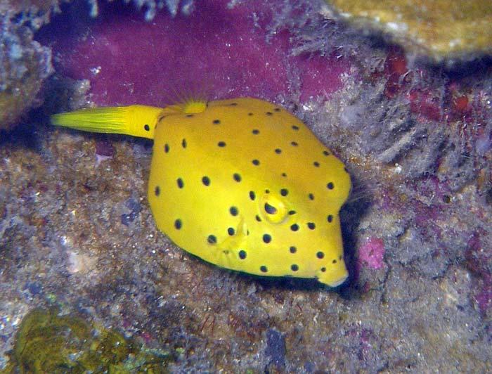 Sjov lille gul kuffertfisk ved Lang Tengah