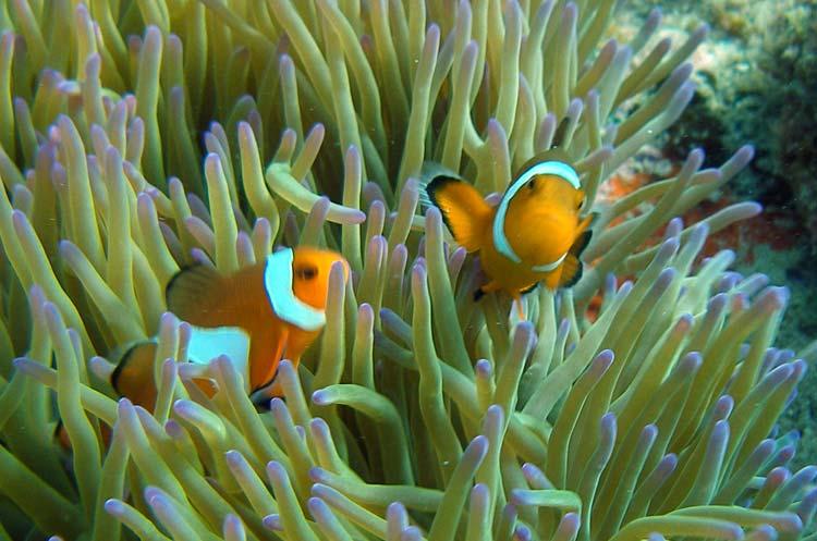 Klovnfisk i deres søanemone