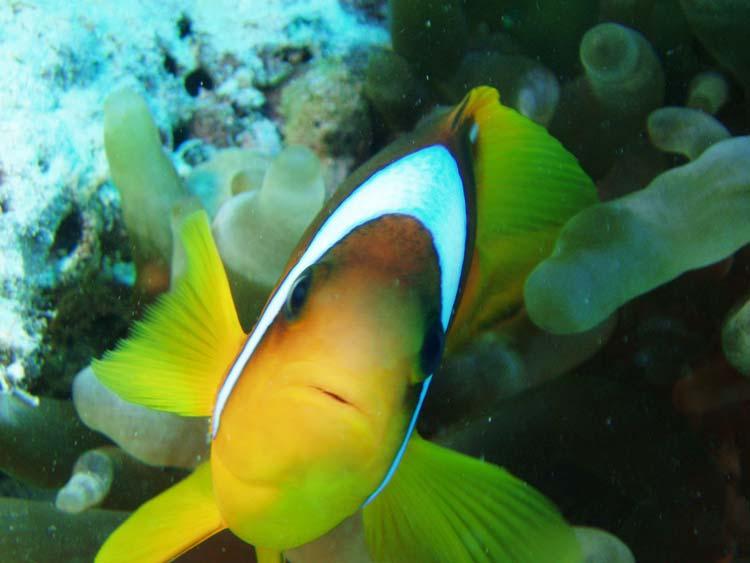 Klovnfisk i Rødehavet