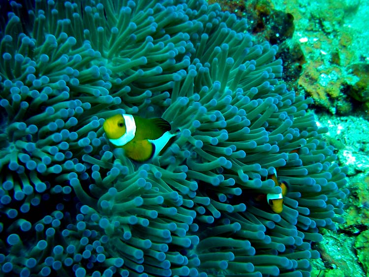Klovnfisk og søanemone ved Tokong Laut