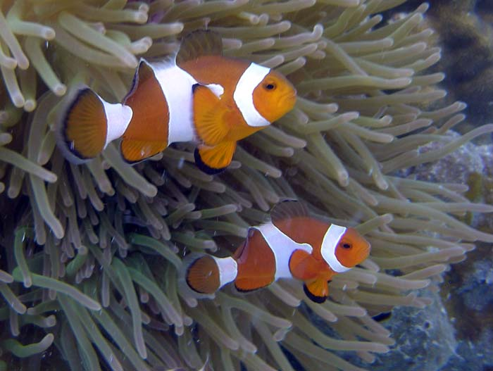 To klovnfisk på Lang Tengah