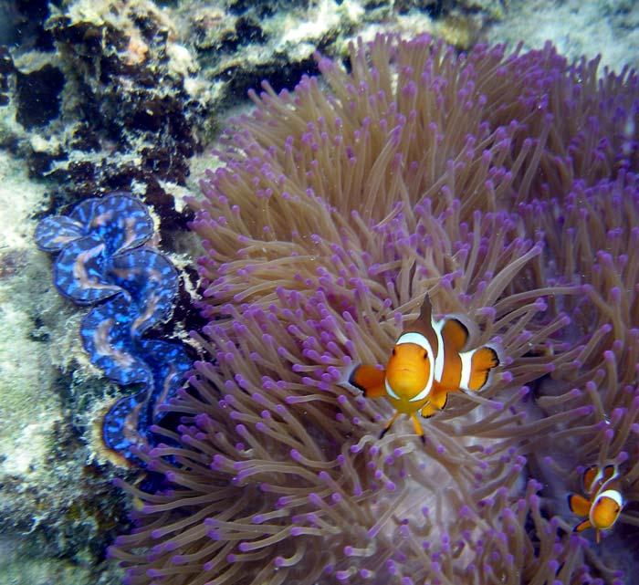 Klovnfisk, søanemone og kæmpemusling