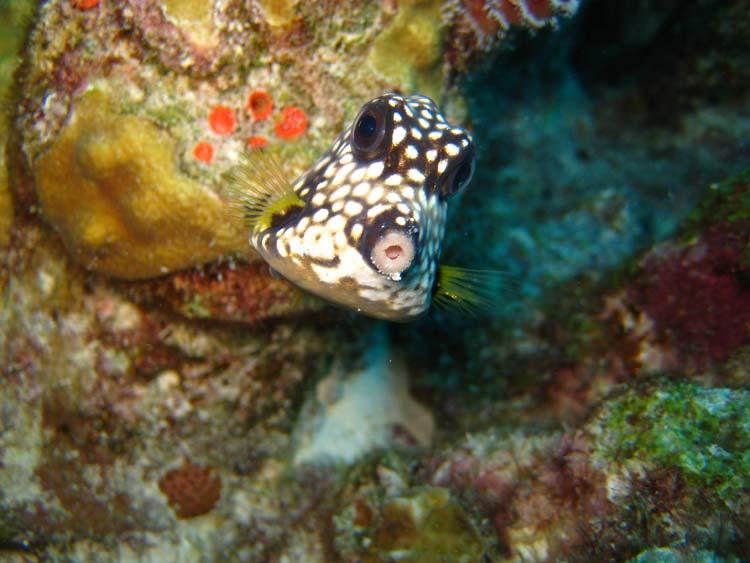 Sød kuffertfisk ved Curacao