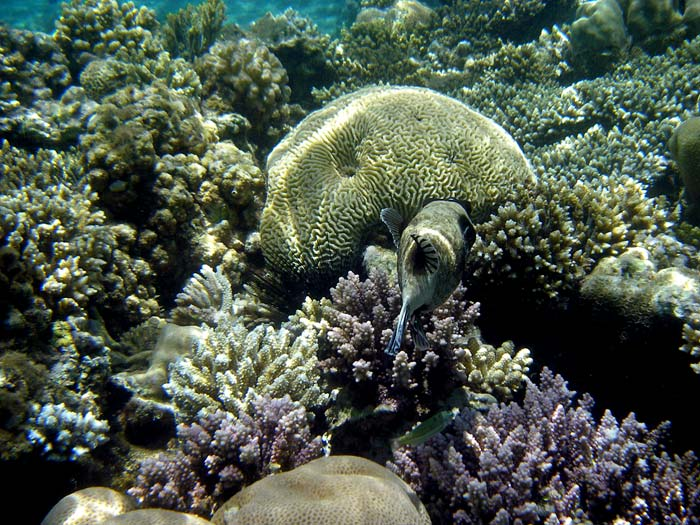 Kuglefisk blandt koraller i Masbat Bay