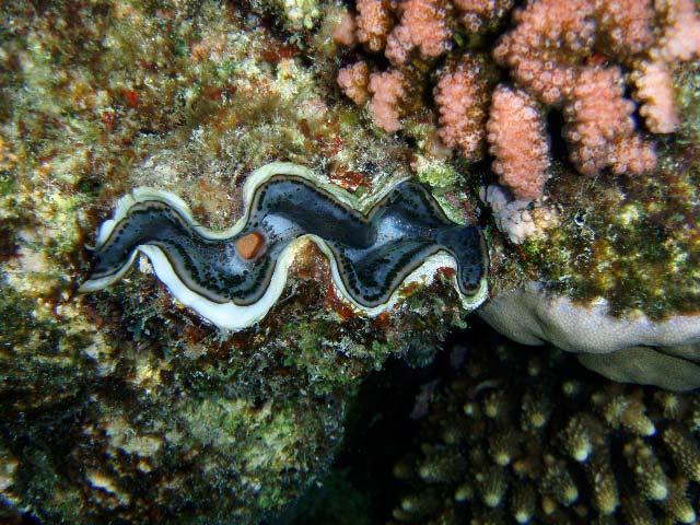 Kæmpemusling og koraller i Marsa Alam