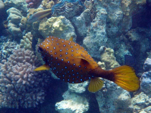 Boxfish i Marsa Alam