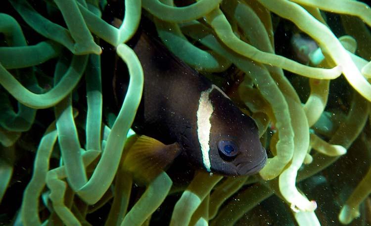 Mørk klovnfisk i grøn søanemone i Masbat Bay