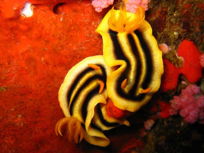 Nøgensnegle (Nudibranches) i Filippinerne