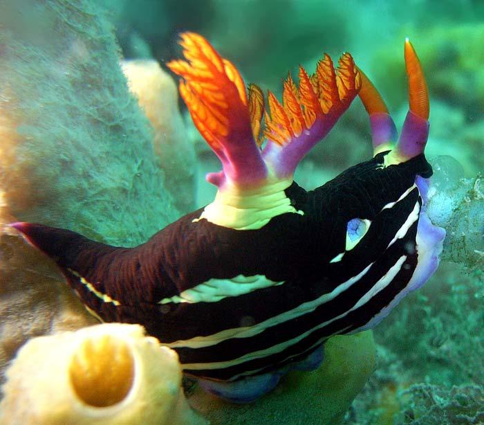 Nøgensnegl (Nudibranch) ved Port Stephens