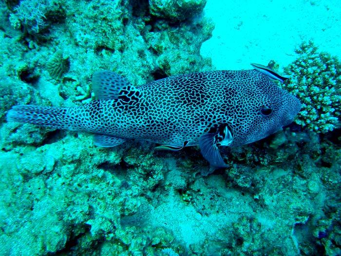 Stor kuglefisk ved The Islands