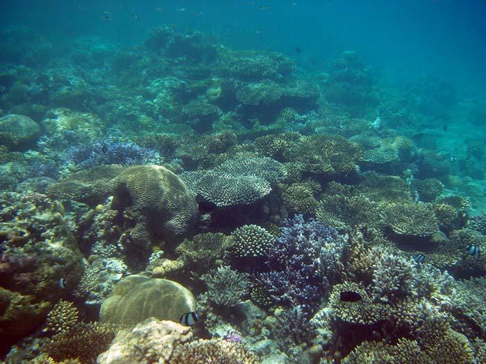 Koralrev i Masbat Bay