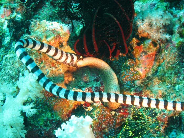 Giftig søslange i Filippinerne