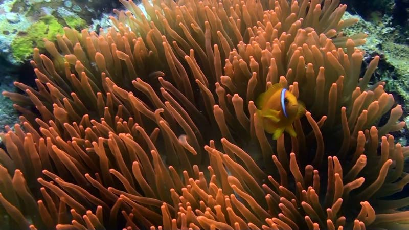 Klovnfisk og rød søanemone