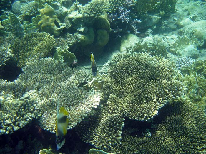 Vimpelfisk i Masbat Bay