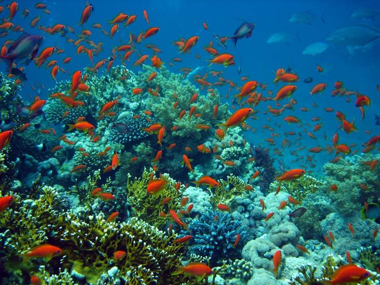 Fanebarser og koraller ved Ras Mohammed