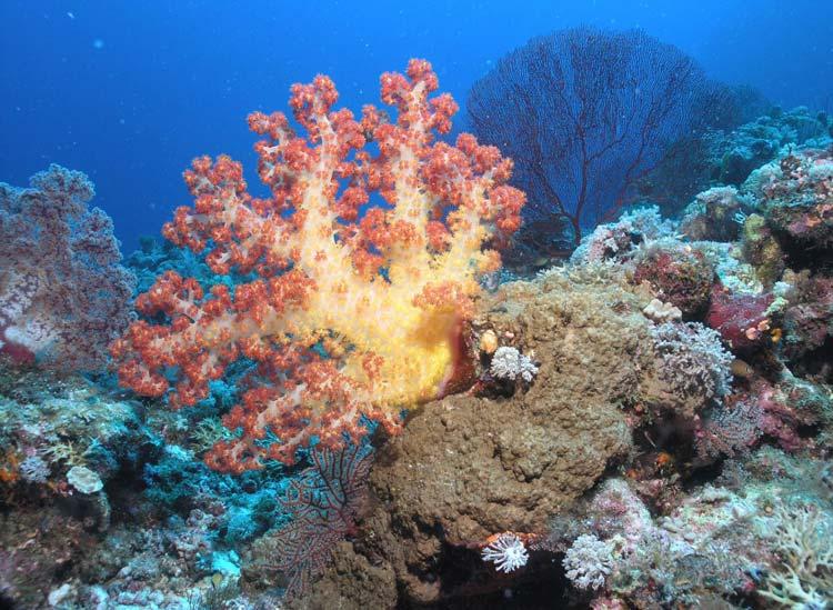 Smuk blødkoral ved Salomonøerne
