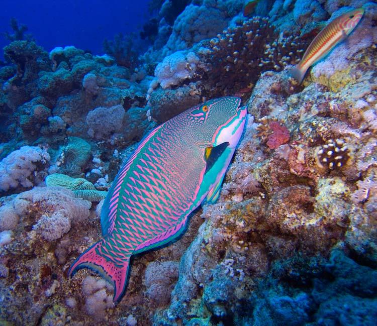 Papegøjefisk ved Brother Islands