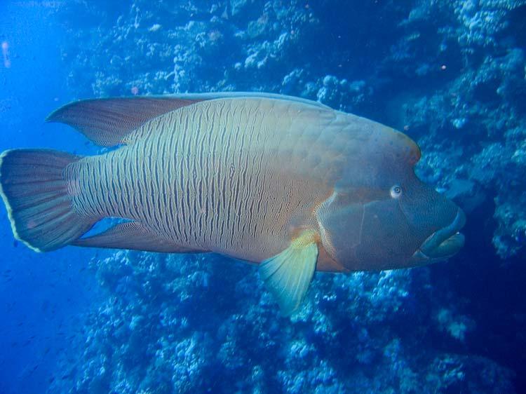 Napoleonfisk ved Brother Islands