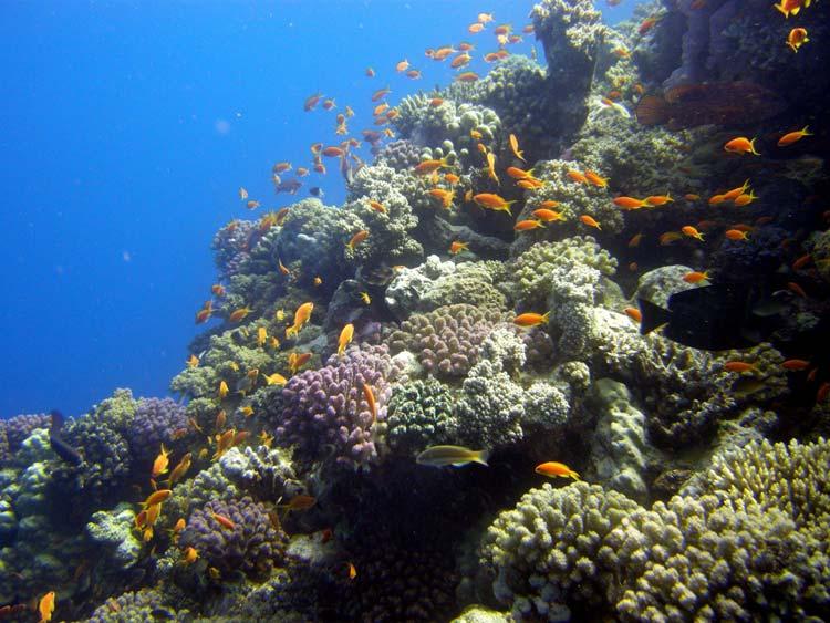 Koraller og fisk ved Elphinstone Reef