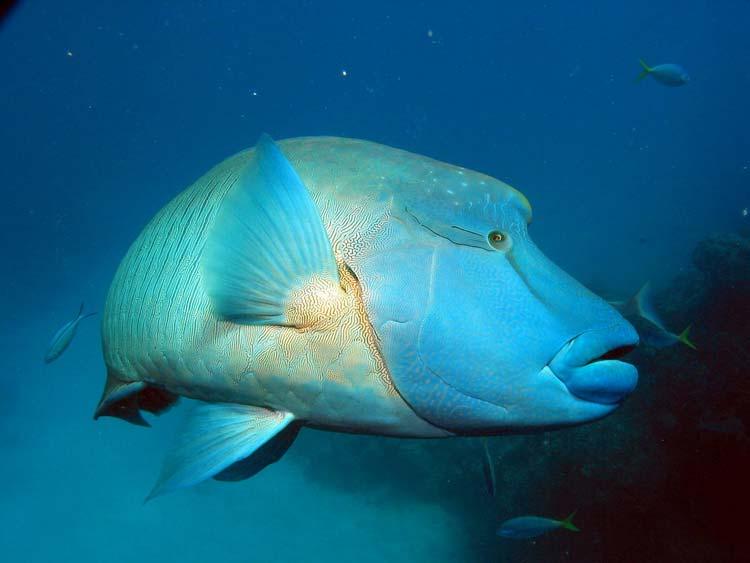 Napoleonfisk ved Ribbon Reefs