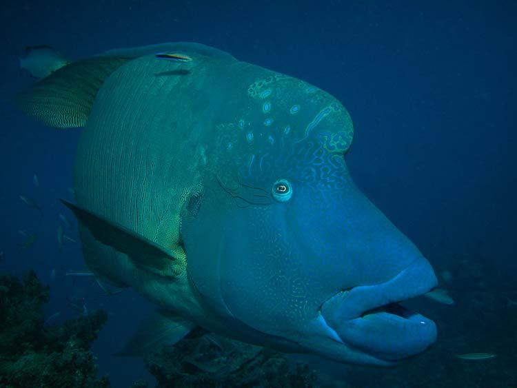 Napoleonfisk ved Great Barrier Reef
