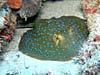 Blåplettet pilrokke ved Sipadan Island