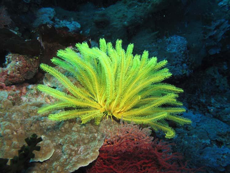 Smuk sølilje ved Apo Reef