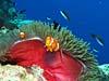 Klovnfisk ved Apo Reef