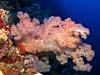 Flot blødkoral ved Apo Reef