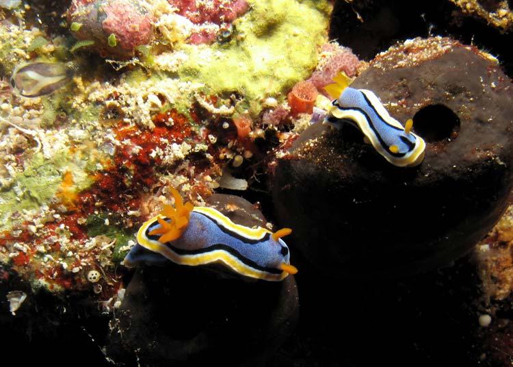 Nøgensnegle ved Apo Reef