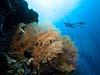 Viftekoraller og dykker ved Bohol Island