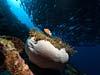 Søanemone og klovnfisk ved Bohol Island