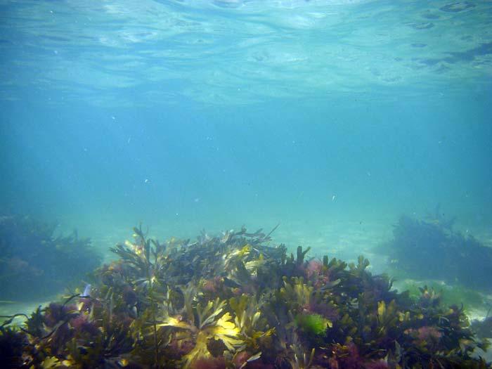 Tang i Øresund